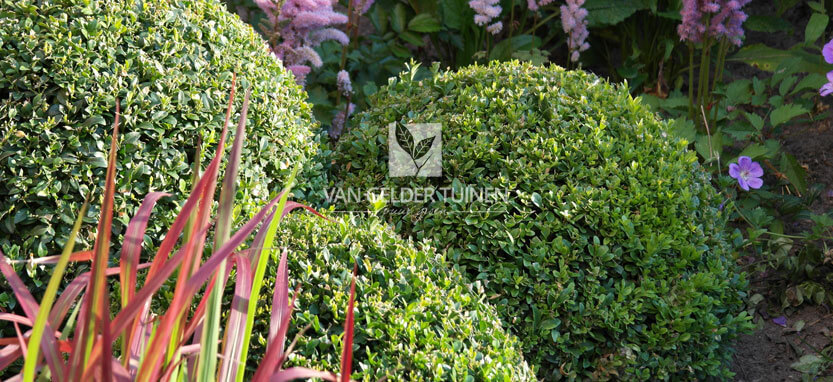 Aanplanten van buxuswolk in tuin