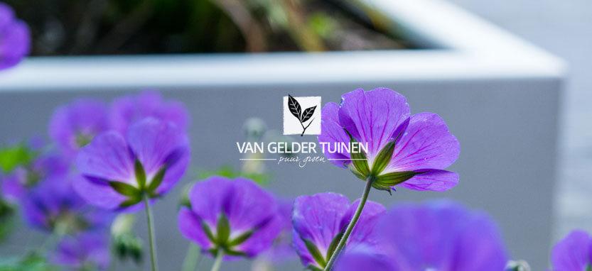 Geranium rozanne | Tuinaanleg hoveniersbedrijf van Gelder TUINEN